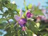Shadow Dancers® Violette - Fuchsia hybrid