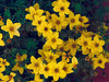Peter's Gold Carpet - Bidens ferulifolia