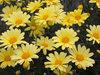 Butterfly - Marguerite Daisy - Argyranthemum frutescens