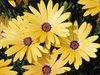 Lemon Symphony - Osteospermum hybrid