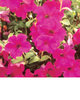 Surfinia® Purple (Brilliant Pink) - Petunia hybrid