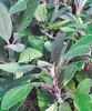 Purple Sage - Salvia purpurea