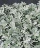 Silver Cascade® - Dusty Miller - Artemisia stelleriana