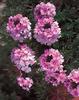Tapien® Pink - Verbena hybrid