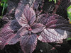 ColorBlaze® Dark Star - Coleus - Solenostemon scutellarioides