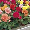 Nonstop® Mix - Tuberous Begonia - Begonia x tuberhybrida