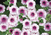 Surfinia® Rose Veined - Petunia hybrid