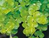 Goldilocks - Creeping Jenny - Lysimachia nummularia