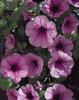 Surfinia® Pink Veined - Petunia hybrid