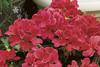 Caliente® Coral - Geranium - Pelargonium