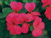 Caliente® Hot Coral - Geranium - Pelargonium