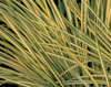 Ogon - Golden Variegated Sweet Flag - Acorus gramineus