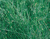 Graceful Grasses® Fiber Optic Grass - Isolepsis (Scirpus) cernus