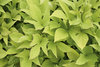 'Sweet Caroline Light Green' - Sweet Potato Vine - Ipomoea batatas
