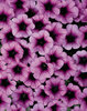 Tiny Tunia® Plum Ice - Petunia x hybrid