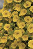 Million Bells® Trailing Yellow - Calibrachoa hybrid