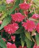 Belleconia™ Rose - Tuberous Begonia - Begonia hybrid