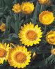 Sundaze® Golden Beauty® - Bracteantha (Xerochrysum) bracteata