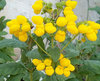 Golden Yellow - Lady's Purse - Calceolaria hybrid