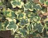 Golden Ingot - Ivy - Hedera helix