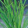 Green Chives - Allium schoenoprasum