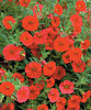 Million Bells® Red - Calibrachoa hybrid