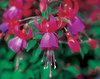 Shadow Dancers® 'Marcia' - Fuchsia hybrid