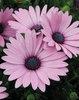 Soprano® Light Purple - Osteospermum hybrid