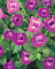 Summer Wave® Amethyst - Wishbone Flower - Torenia hybrid