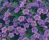 Million Bells® Trailing Blue - Calibrachoa hybrid