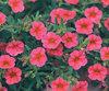 Million Bells® Trailing Pink - Calibrachoa hybrid