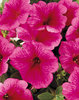 Supertunia® Mini Strawberry Pink Veined - Petunia hybrid