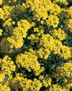 River of Gold™ - Mountain Madwort - Alyssum montanum