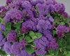 Artist® Blue - Flossflower - Ageratum hybrid