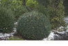 North Star® - Boxwood - Buxus sempervirens
