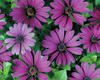 Soprano® Compact Purple - Osteospermum hybrid