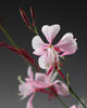 Stratosphere™ Pink Picotee - Butterfly Flower - Gaura lindheimeri
