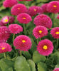 Polar™ Red - English Daisy - Bellis perennis