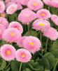 Polar™ Pink - English Daisy - Bellis perennis