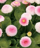 Polar™ Strawberries and Cream - English Daisy - Bellis perennis