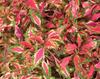 Pink Chaos - Coleus - Solenostemon scutellarioides