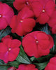 Infinity® Ruby Flash - New Guinea Impatiens - Impatiens hawkeri