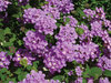 Luscious® Grape - Lantana camara