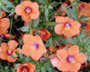 'Wildcat Mandarin' - Anagallis hybrid
