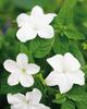 Endless™ Flirtation - Bush Violet - Browallia hybrid