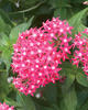 Butterfly Deep Rose - Pentas
