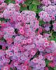 Artist® Blue Violet - Flossflower - Ageratum hybrid