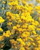 Flambe® Yellow - Strawflower - Chrysocephalum apiculatum