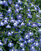 Laguna™ Compact Blue with Eye - Lobelia erinus