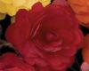 Nonstop® Mocca Scarlet - Tuberous Begonia - Begonia x tuberhybrida